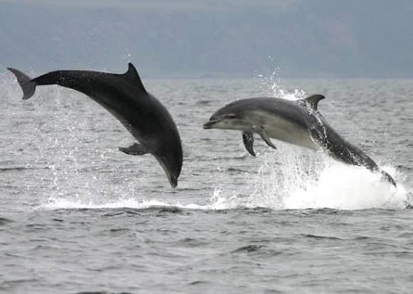 two-dolphins-leap_674578n
